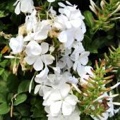 Blooming white Plumbago Escapade