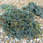 Clump of sea kale with gravel mulch.