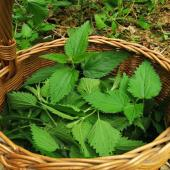 Nettle leaves in a wicker basket