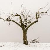 winter-pruning-pear-apple-trees
