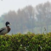 Duck on an evergreen hedge